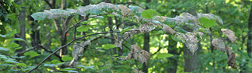 Webworm infested redbud branch