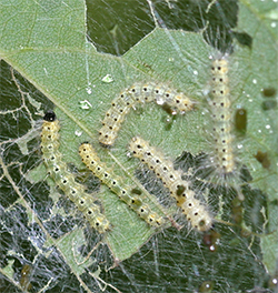 Fall webworms feed on the leaves incorporated into their web.