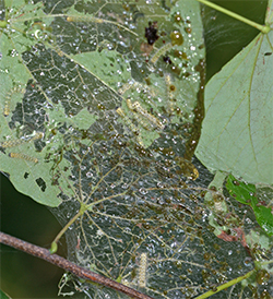 The web protects the caterpillars from predators (and pesticides) as they feed.