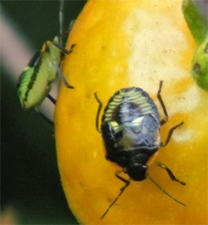 Green stink bugs are also very damaging to vegetable crops.