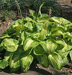 "Hosta 'Paradigm' has thick, heavily textured leaves that slugs can't ""chew""."