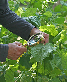 Mark examines the underside of leaves for insect pests