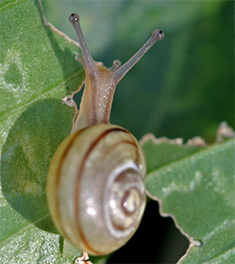 Snails can cause significant damage to hosta leaves