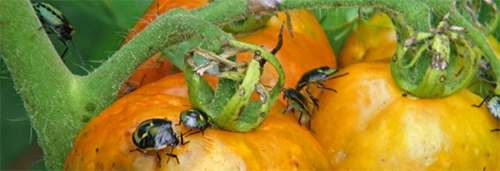 Green stink bugs congregate on some tomatoes