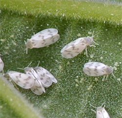 Adult bandedwinged whiteflies