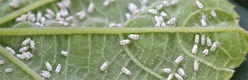 Whitefly congregates on the underside of a leaf