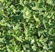 Clover is commonly planted as a cover crop.