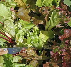 After cutting, no bare soil shows and the remaining lettuce stays clean.