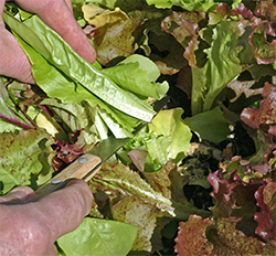 Mark cuts some lettuce leaving the roots and crown of the plants.