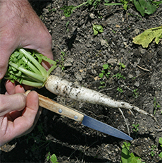 Daikon radish develops a long edible root that grows deep to breakup compacted soil
