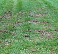 Skunks further damaged the turf when they dug for the grubs by the willow tree.