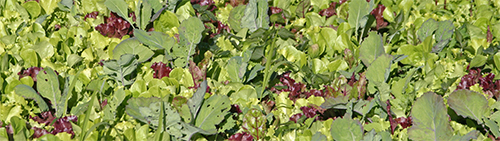 A cover crop of mixed greens and root crops