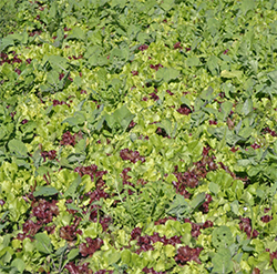 edible mix cover crop