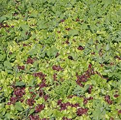"""Mark's """"edible"""" cover crop"""