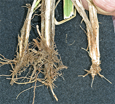 A grass plant with roots eaten by grubs (right) compared to undamaged grass plants (left)