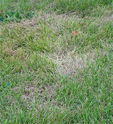 Dead patches in the lawn are typical signs of grubs