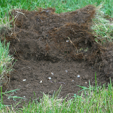 Damaged turf peels back easily revealing the grubs.