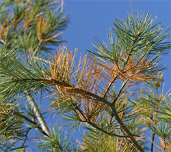 Browning needles on the one-year old white pine growth