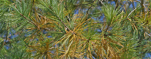 White pine shedding 1-year old needles