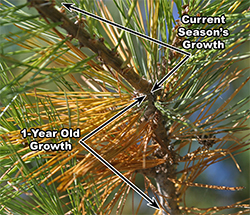 1-year old growth drops it's needles while the current season's growth remains green.