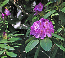 Our rhododendrons aren't nearly as grand as the ones in Chestnut Hill