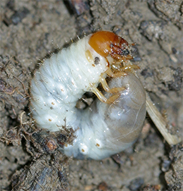 White grubs are usually found curled up in a c-shape.