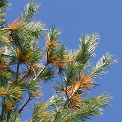 White pine needles turn yellow then brown before they drop