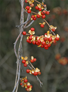 Bright yellow capsules split open in the fall revealing the colorful red fruit