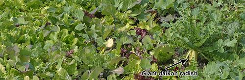 Cover crops in November