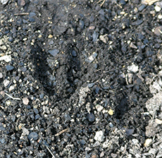 Hoof prints show where deer have been wandering around the plot