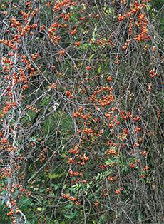An oriental bittersweet vine has engulfed a black locust tree