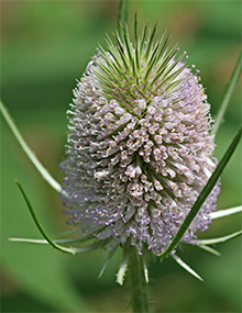 Teasel flower in mid-July. Photo by Eric Jones