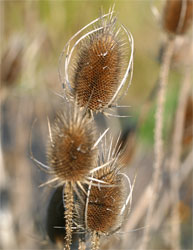 Dried teasel flowers in the field.