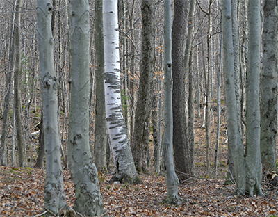 Beech trees with their smooth blue-gray bark contrast with the bright white bark of a white birch.