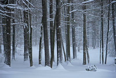 A beautiful beech-maple forest on a snowy day.