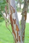 Exfoliating giraffe-like bark of crape myrtle.