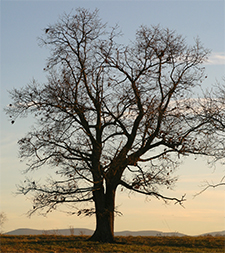 A majestic oak silhouetted against the winter sky