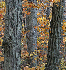 White oak (left) and chestnut oak (right) have very different bark textures.