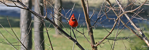 A cardinal sits in a paperbark maple tree
