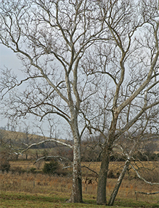 Sycamore trees show their beautiful bark in winter