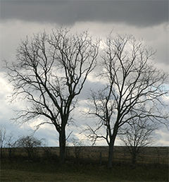 Trees against a winter sky