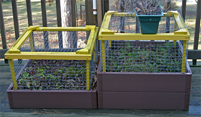 The setup with the wire cages to protect the plants from the critters.
