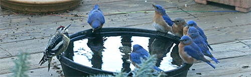 Bluebirds and a female yellow-bellied sapsucker drink at the water trough.