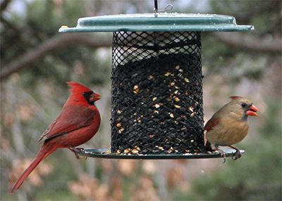 A beautiful pair of cardinals at a sunflower seed feeder