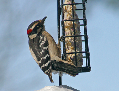 A male downy woodpecker enjoys a suet cake