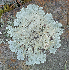 Lichen can often be found growing on rocks.