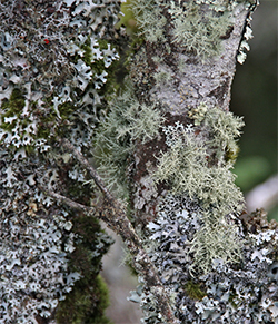 This fir tree supports a diverse collection of lichen.