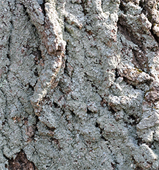 Lichens often grow denser on the north side of a tree where conditions are generally moister.