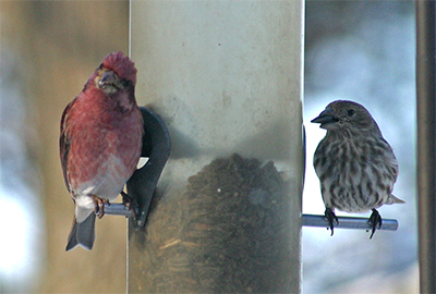 A pair of purple finches feed at the tube feeder