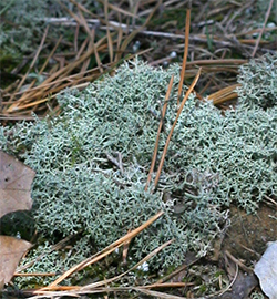 Reindeer moss is a fruticose lichen